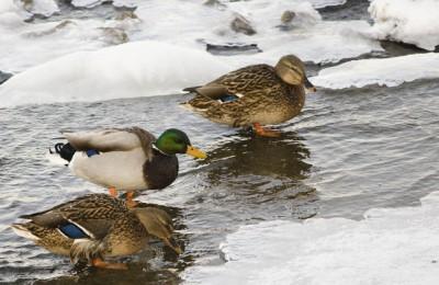 Подрядчика на содержание лебедей, гусей и уток выберут для музея-заповедника «Царицыно»