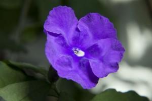 Малоцветковая брунфельсия
