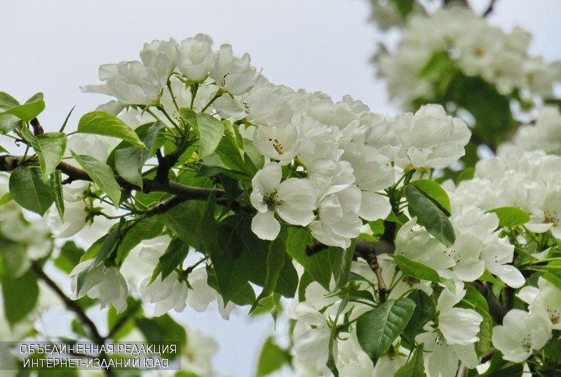 Цветы в районе Орехово-Борисово Северное