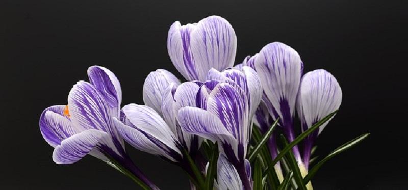 крокус, цветы, пиксабай