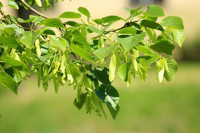 дерево, липа, наше дерево, семейное дерево, пиксабай